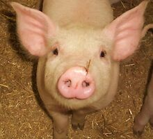 piggy nose piggy  by MichelleRees