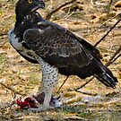 African Hawk Eagle having dinner by maureenclark