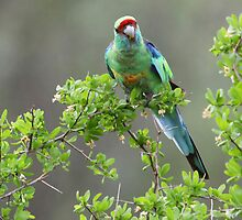 Mallee Ringneck Parrot  by bowenite