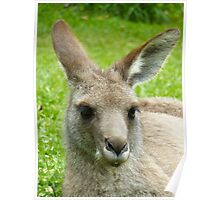 Portrait of a Kangaroo  Poster