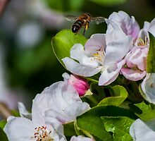 Apple Blossom bee by thehazelifted