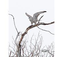 Gyrfalcon Taking Flight Photographic Print