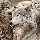 Wolf Pack at Play by Bill Maynard