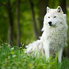 Arctic Wolf Shedding Winter Coat by Bill Maynard