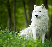 Arctic Wolf Shedding Winter Coat by Bill Maynard