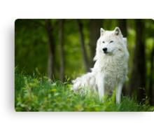 Arctic Wolf Shedding Winter Coat Canvas Print