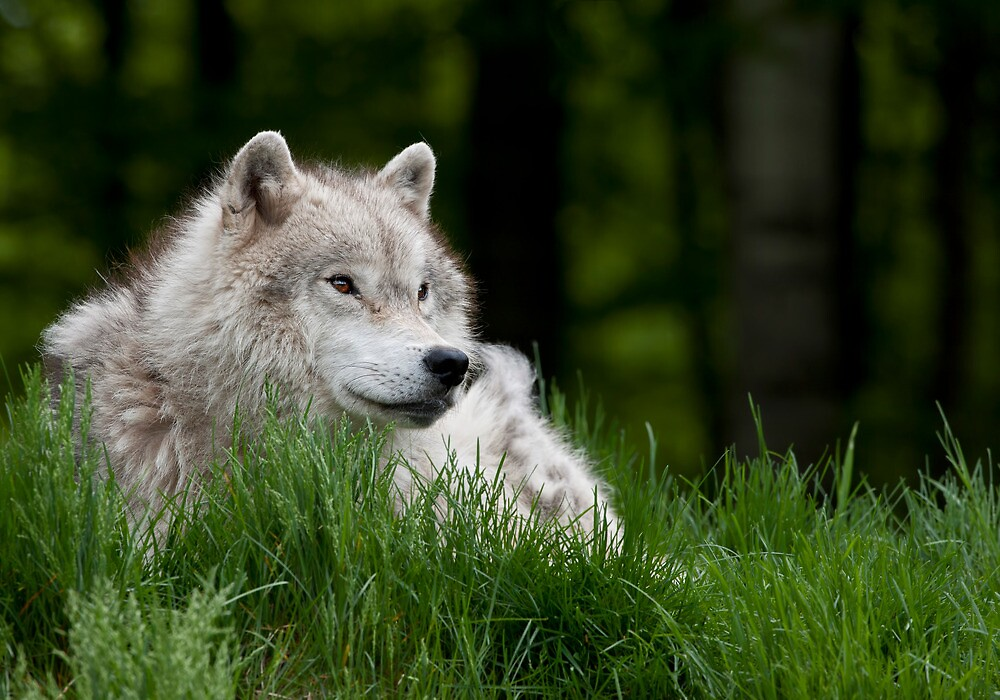 Arctic Wolf in Spring by Bill Maynard