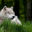 Arctic Wolf in Spring by Bill Maynard