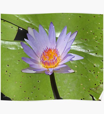 Londolozi lilly Poster