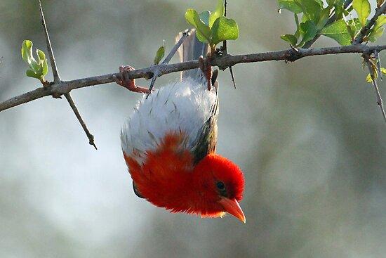 Red headed weaver bird by jozi1