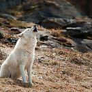 Arctic Wolf Howl by Bill Maynard