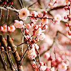 Sakura by werxj