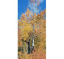 Aspen Trees Photographic Print
