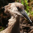 Hamerkop in Africa by maureenclark