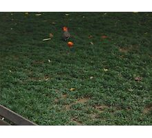 A dove chasing a red flower Photographic Print