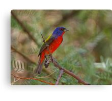 Painted Bunting Portrait II Canvas Print