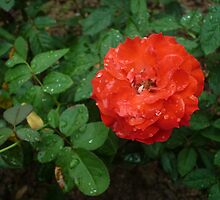A magnifiecnt stunning red rose by Joseph Green