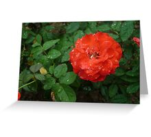A magnifiecnt stunning red rose Greeting Card