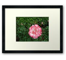 an amazing pink and white rose Framed Print