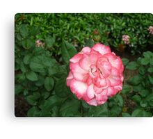 an amazing pink and white rose Canvas Print