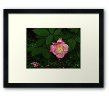 Regal red and white beautiful rose queen bowing to kiss. Framed Print