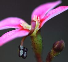Stylidium debile by andrachne