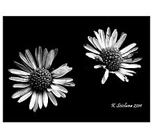 Twin daises in b/w Photographic Print