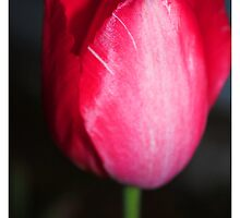 Tulips at night by bluetaipan