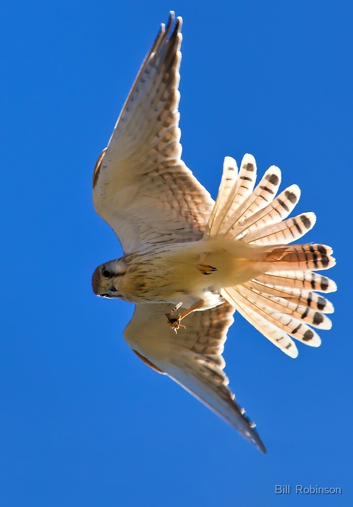 Nankeen Kestral with a Snack by Bill  Robinson