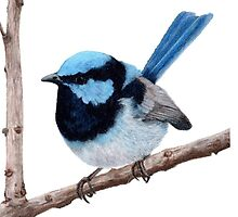 Superb fairy-wren by Milly Formby