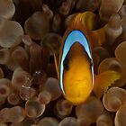 Clownfish and Crystal shrimp by davediver