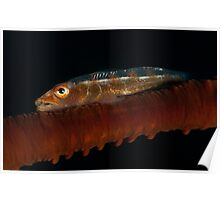 Goby on a whip coral Poster