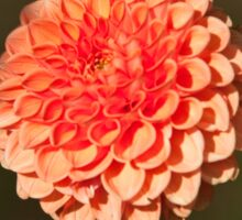 Orange Dahlia in the Halifax Public Gardens Sticker