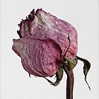 Dried Rose #1 by Robert Ullmann