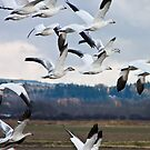 Geese in Flight by Mike  Kinney