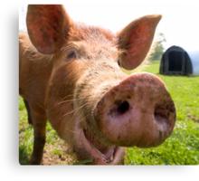 A happy Tamworth pig Canvas Print