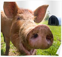 A happy Tamworth pig Poster