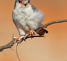 African Pygmy Falcon With Catch by Rashid Latiff
