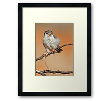African Pygmy Falcon With Catch Framed Print