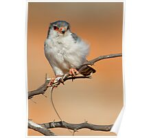 African Pygmy Falcon With Catch Poster