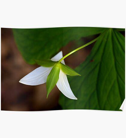 Trillium Spring Poster