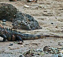 Iguana. by bulljup