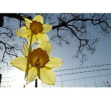 Daffodils at Sunrise Photographic Print