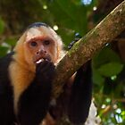 Capuchin monkey. by bulljup