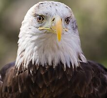 Portrait of a Young Bald Eagle by Robert Kelch, M.D.