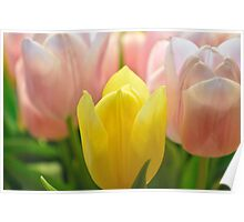 Tulips in bloom Poster