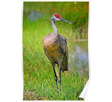 Sandhill Crane by the Water. Poster