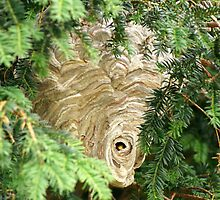 Hornets Nest by MendipBlue