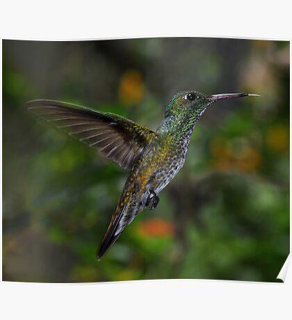 Humming Bird Poster
