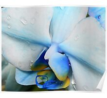 Drops on a blue orchid Poster